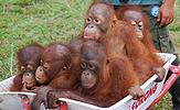 wheelbarrow of orangs