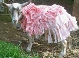 goat in dress - from Google images