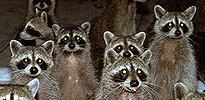 coons