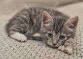 victim kitten