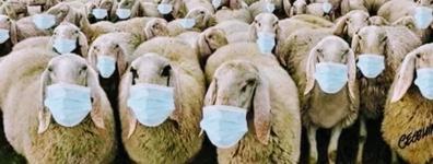sheep in masks